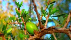 cosmetica pianta di argan